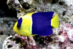Angelfish-Bicolour