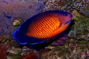 Angelfish-Coral Beauty