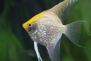 Angelfish - Gold
