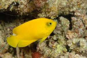 Anglefish-Heralds