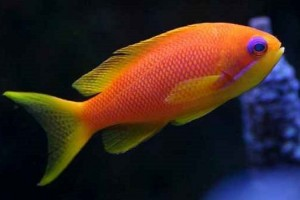 Anthias-Lyretail