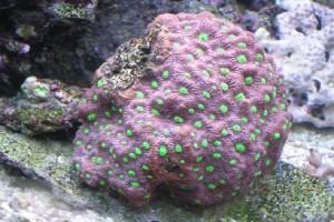 Aussie War Coral (Favites Pentagona)