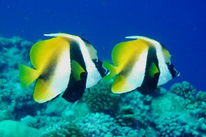 Bannerfish-Masked