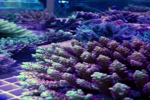 Branching Coral (Acropora)