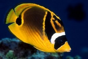 Butterflyfish-Raccoon