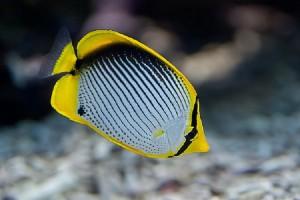 Butterflyfish-Blackback