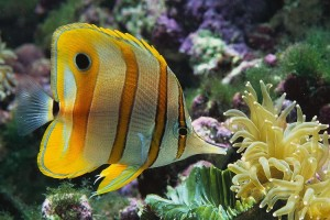 Butterflyfish-Copperband