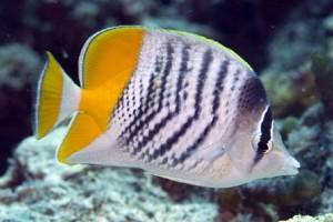 Butterflyfish-Mertens