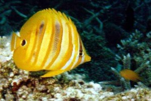 Butterflyfish-Rainfords
