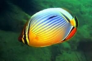 Butterflyfish-Redfin