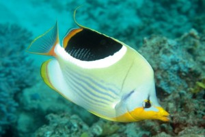 Butterflyfish-Saddled