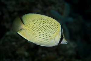 Butterflyfish-Speckled