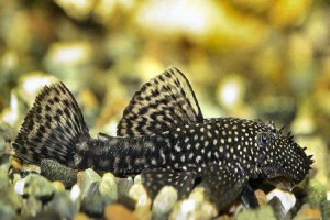 Catfish-Bristlenose
