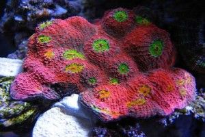 Chalice Coral (Echinophyllia)