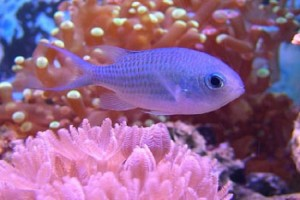 Chromis-Purple