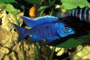 Cichlid - Blue Peacock