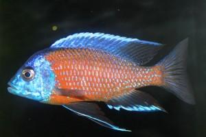 Cichlid - Kadango Red
