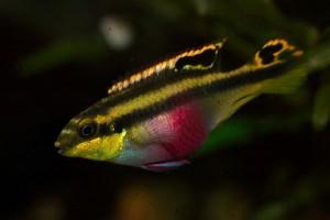 Cichlid - Kribensis