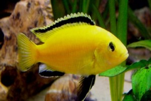 Cichlid - Labidochromis Electric Yellow