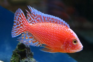 Cichlid - Red Peacock