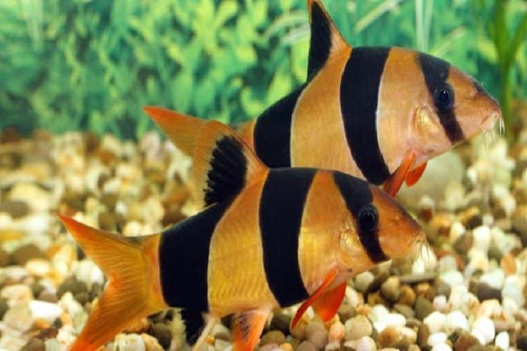Clown loach for Clown loach fish