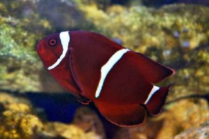 Clownfish-Maroon