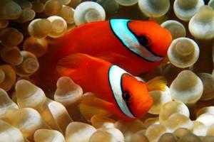 Clownfish-Tomato