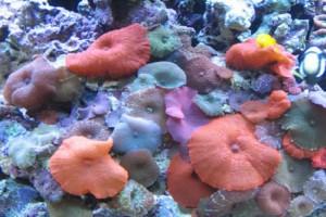 Corallimorph (Discosoma)