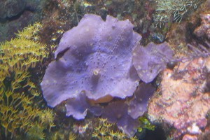Corallimorpharia