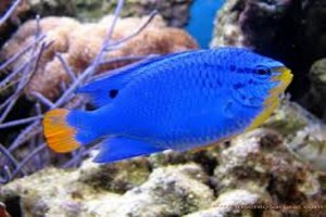 Damsel-Orange Tail Blue