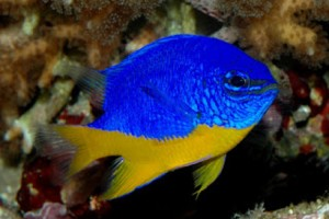 Damselfish-Neon