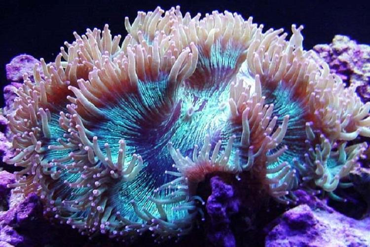Elegance coral catalahyllia jardinei for Aquarium elegance
