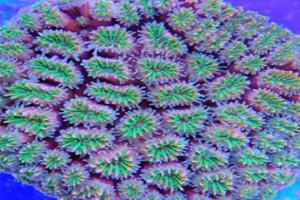 Galaxy Coral Green (Galaxea Fascicularis)
