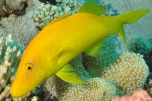 Goatfish-Gold