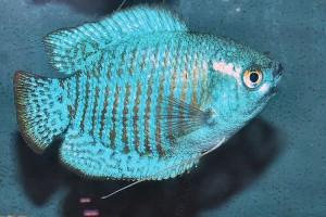 Gourami - Dwarf Blue
