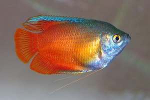 Gourami - Honey