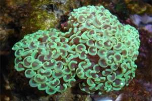 Hammerhead Coral (Euphyllia Ancora)