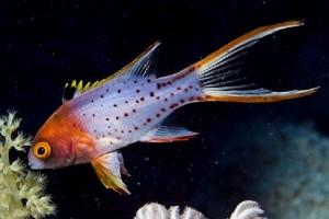 Hogfish-Lyretail