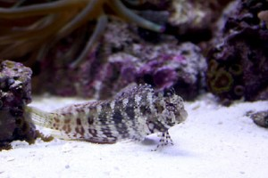 Lawnmower-Blenny.