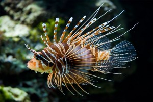 Lionfish-Zebra