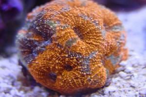 Pineapple Coral (Acanthastrea Echinata)
