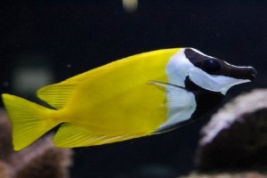 Rabbitfish-Foxface