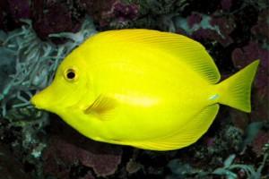 Tang-Yellow