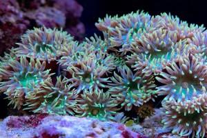 Tree Coral (DuncanopsammiaAxifuga)