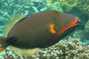 Triggerfish-Orange Lined