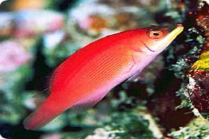Wrasse-Disappearing