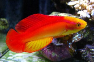 Wrasse-Flame