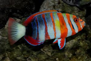 Wrasse-Harlequin Tuskfish